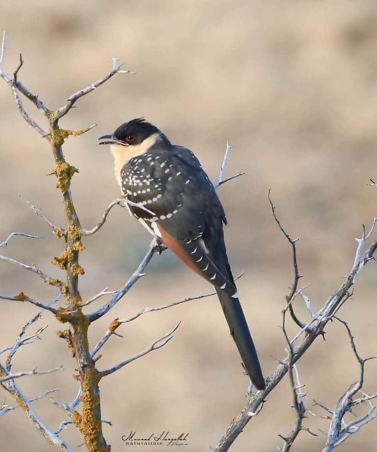 Young Great Spotted Cuckoo / Jeune Coucou geai (Clamator glandarius), north-east Algeria, July 2019 (Mourad Harzallah)