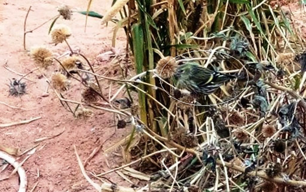 Tarin des aulnes au milieu des tournesols à Ouargla, dans le Sahara algérien / Eurasian Siskin in the middle of sunflowers at Ouargla, Algerian Sahara