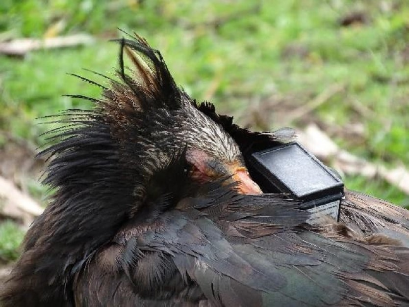 Northern Bald Ibises sleeping with the heads turned on their backs and one eye close to the GPS device fixed in the wing-loop position.