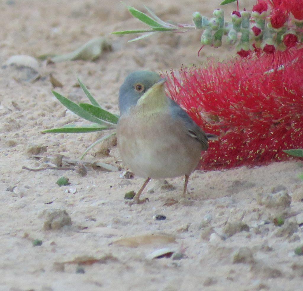 Moltoni's Warbler / Fauvette de Moltoni (Sylvia subalpina), El Borma, Ouargla, Algerian Sahara, 7 April 2019 (Alex Viechec)