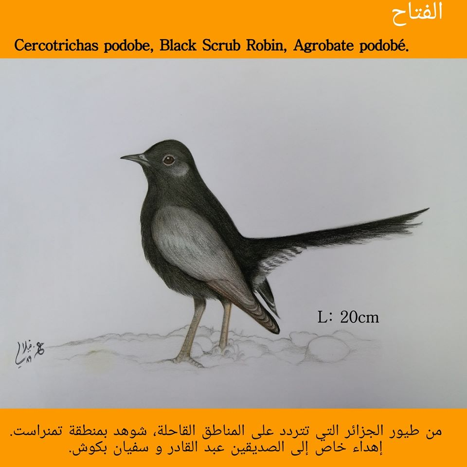 Drawing of Black Scrub Robin (Cercotrichas podobe) by Aissa Djamel FILALI.