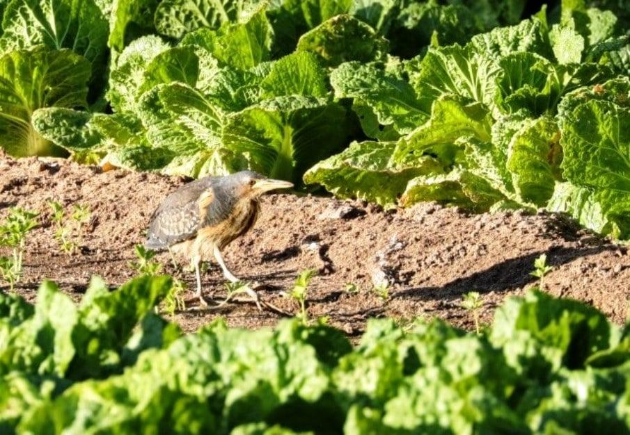 Dwarf Bittern / Blongios de Stürm (Ixobrychus sturmii), Nouadhibou, Mauritania, 23 Jan. 2020 (Sylvia van der Steen).