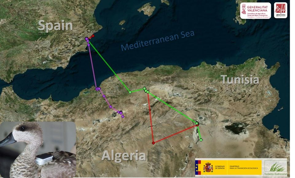 Three Marbled Ducks satellite-tracked from El Hondo, south-east Spain, are in central Algeria. These are the only surviving birds out of a total of 27 Marbled Ducks.