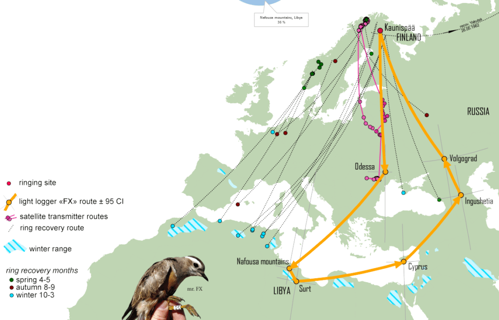 Migratory connectivity of Eurasian Dotterels breeding in alpine Fennoscandia. The bird with geolocator in orange. All but two ring recoveries in winter are from North Africa: Morocco (1), Algeria (6) and Tunisia (1).