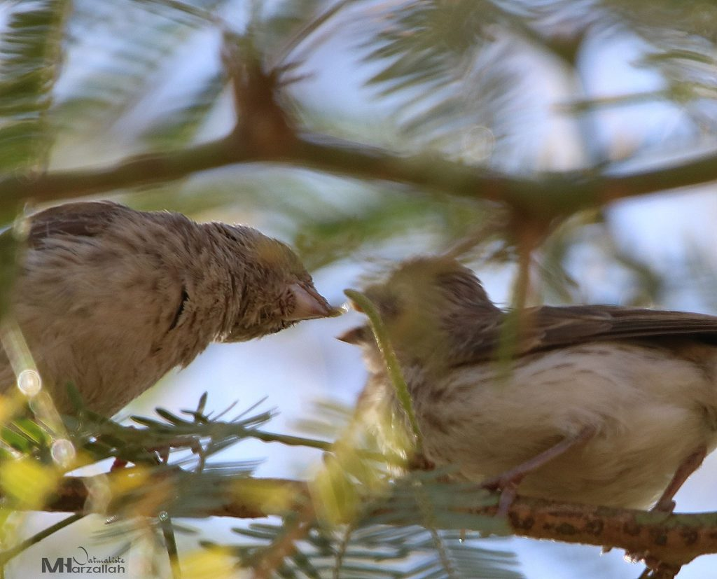 White-rumped Seedeater feeding young, Tamanrasset, southern Algeria, 25 Dec 2019 (Mourad Harzallah).