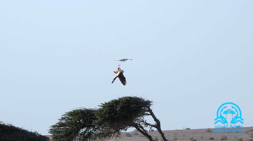 Lanner Falcon attacking the North African Buzzard which turns upside down as a defensive behavior, Boukra, Western Sahara, Morocco, 14 Feb. 2019