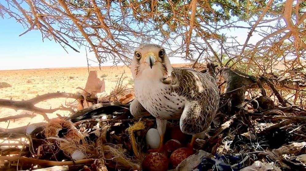 Lanner Falcon brooding its four eggs after it had successfully driven off the original occupants of the nest, Boukra, Western Sahara, Morocco, 27 February 2019