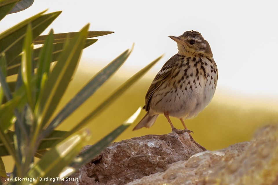 Olive-backed Pipit / Pipit à dos olive (Anthus hodgsoni), Dakhla Bay, 19 Feb 2020 (Javi Elorriaga).