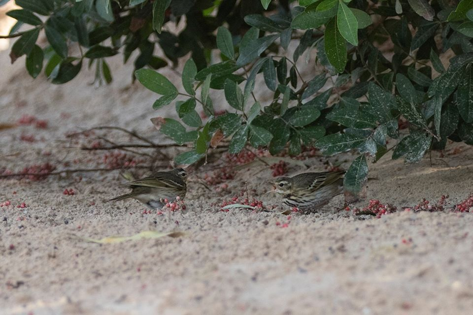 Two Olive-backed Pipits (Anthus hodgsoni), Dakhla Bay, 19 Feb 2020 (Javi Elorriaga).