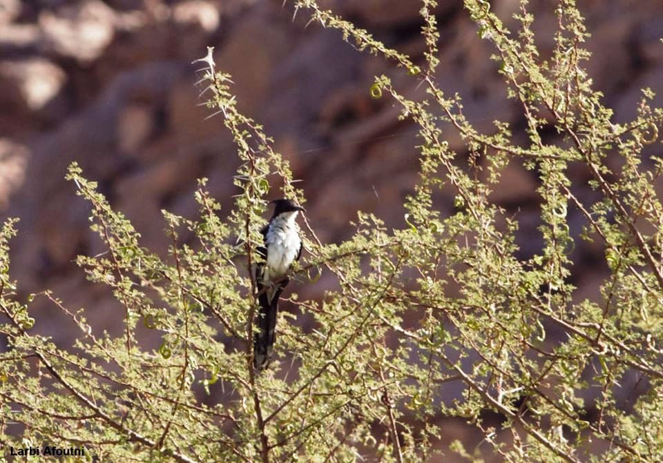 Jacobin Cuckoo / Coucou jacobin (Clamator jacobinus), Tamanrasset, southern Algeria, 5 Oct. 2019 (Larbi Afoutni).
