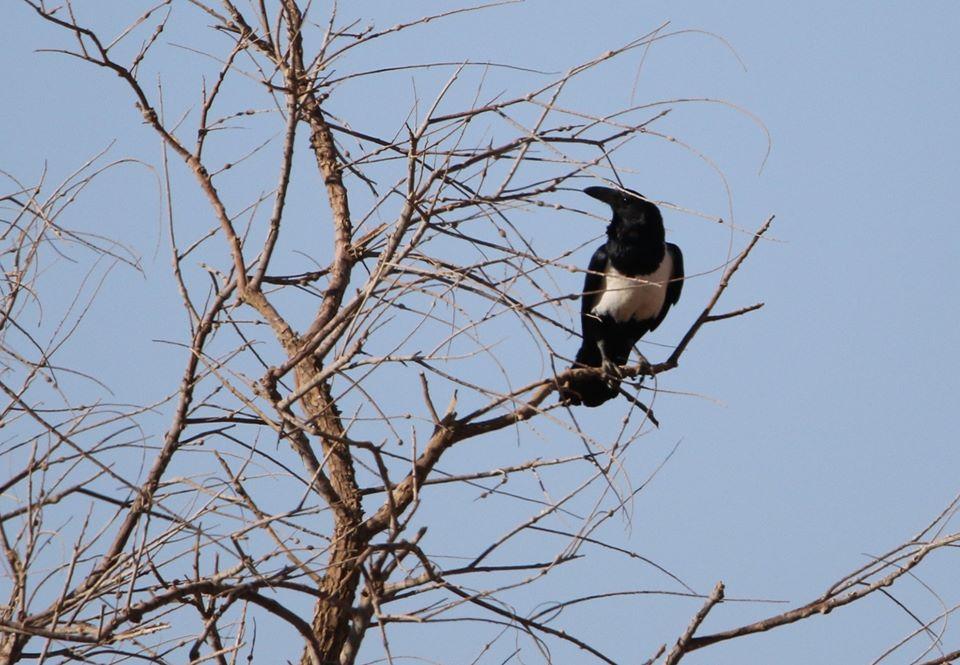 Pied Crow (Corvus albus), Erg Chegaga, Mhamid, eastern Sahara, Morocco, March 2020 (Brahim Bakass).