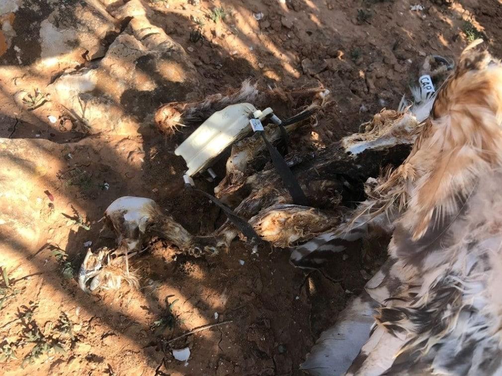 The carcass of Selja the Pallid Harrier (Circus macrourus), Guelmim region, Morocco (Ali Irizi)