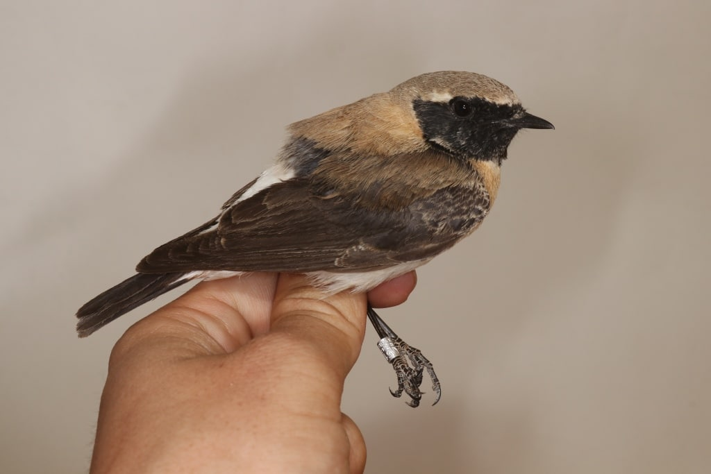 Eastern Black-eared Wheatear (Oenanthe melanoleuca) captured and ringed at Merzouga, south-east Morocco, 8 March 2020 (Marc Illa).