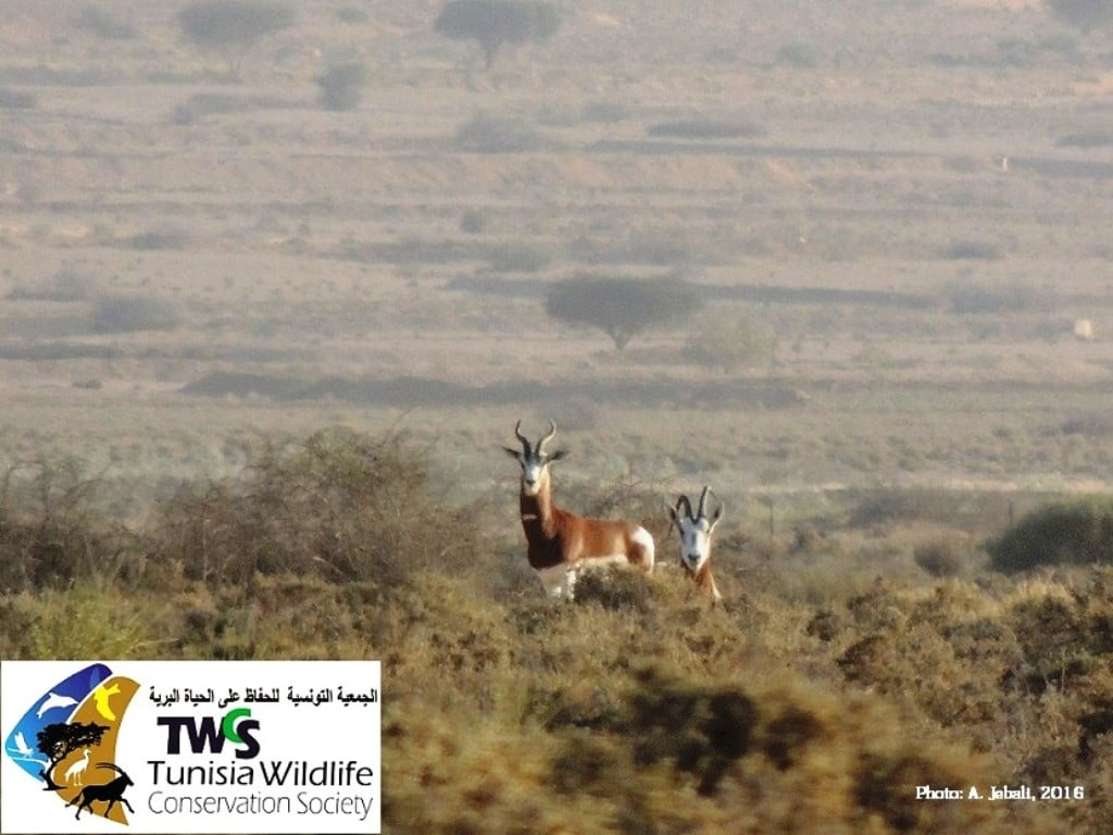 The last Mhorr Gazelles that survived in Tunisia before the final demise of the species in 2020 (Abdelkader Jebali, TWCS).