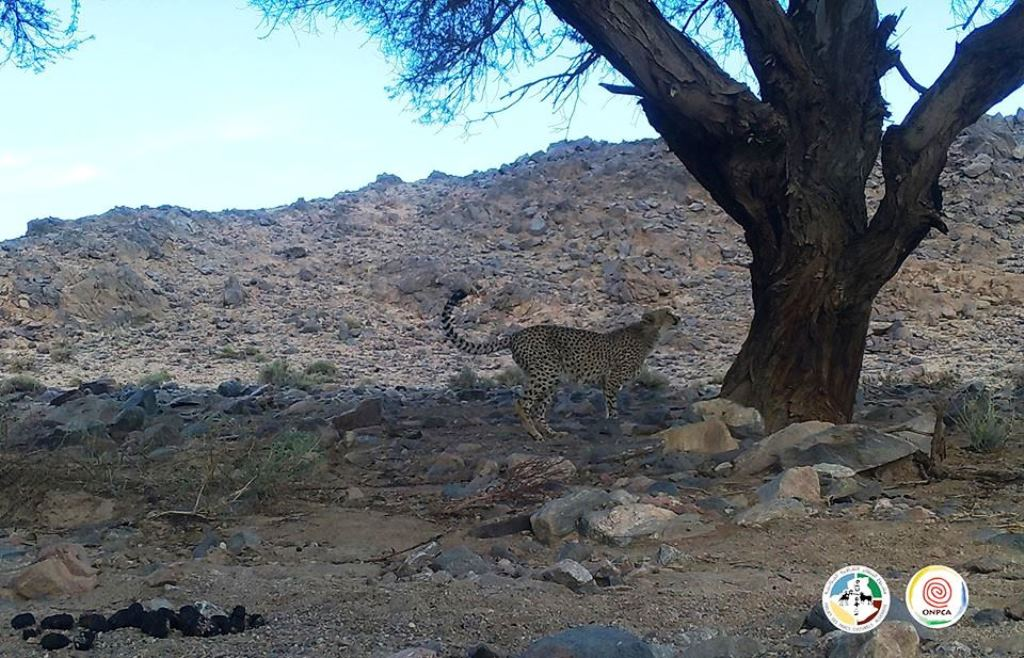 Saharan cheetah / Guépard saharien (Acinonyx jubatus hecki), Ahaggar Cultural Park, Algeria, March 2020 (ONPCA)