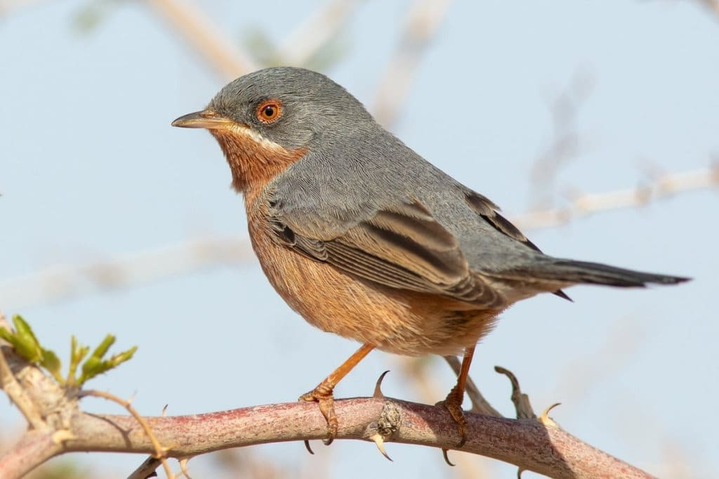 Western Subalpine Warbler (Sylvia iberiae) photographed in Morocco by Phil Gower.
