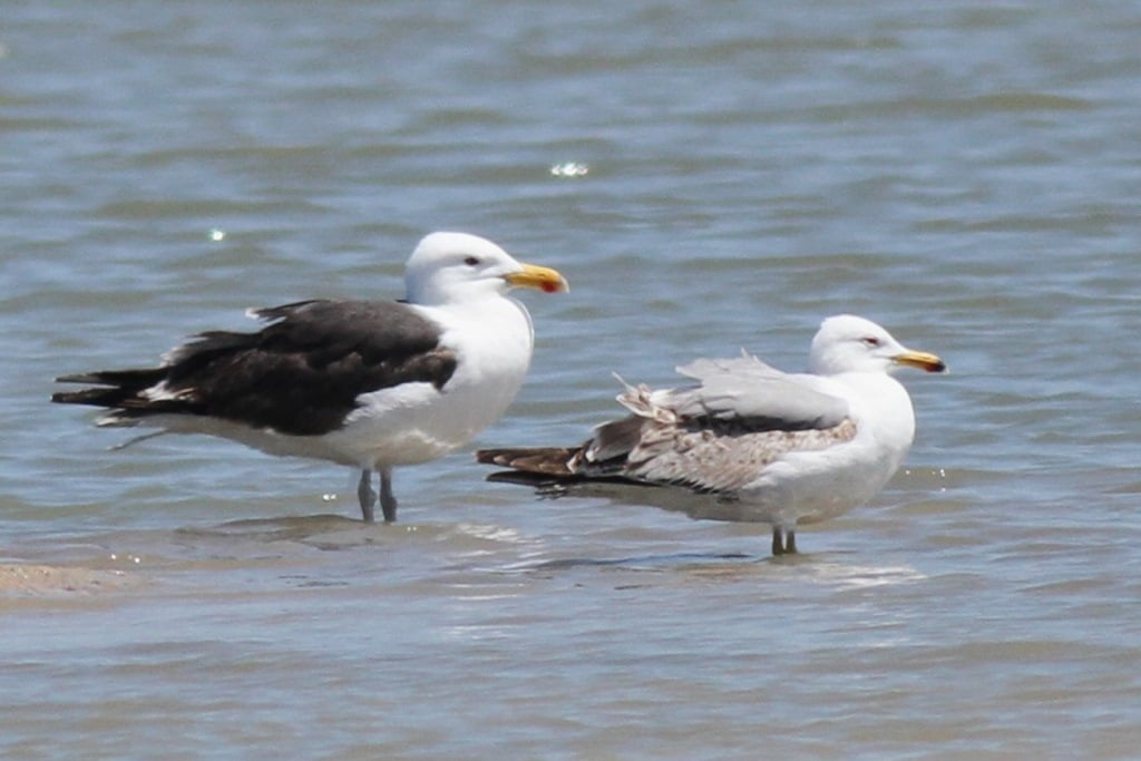 Kelp Gull x Great Black-backed Gull hybrid with the smaller Yellow-legged Gull to the right, Oualidia saltpans, Morocco