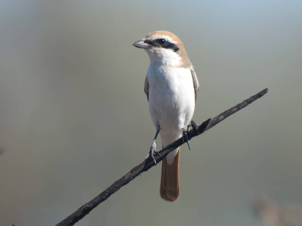 Red-tailed Shrike / Pie-grièche du Turkestan (Lanius phoenicuroides), Skikda, northern Algeria, 9 Oct. 2020 (Youcef Karrit)