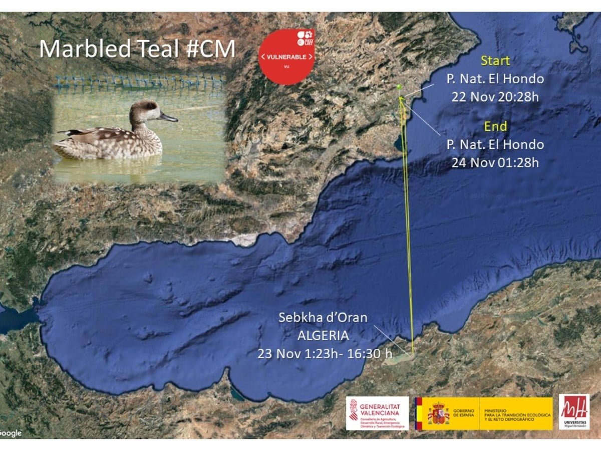 This GPS-tracked Marbled Duck made a round-trip from Spain to Algeria and back in about 24 hours (Ecology Research Group at Miguel Hernandez University of Elche)