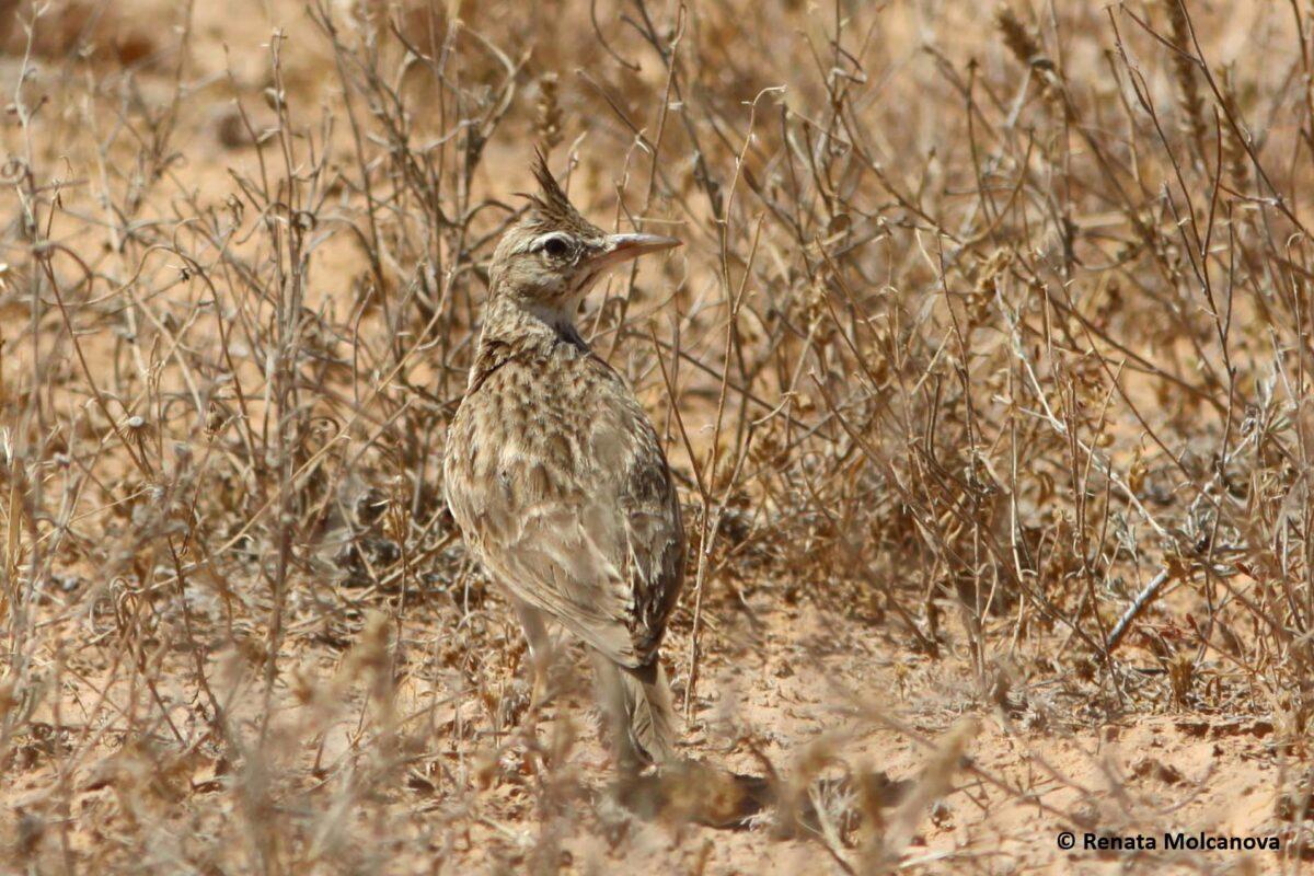 Crested lark / Cochevis huppé (Galerida cristata)