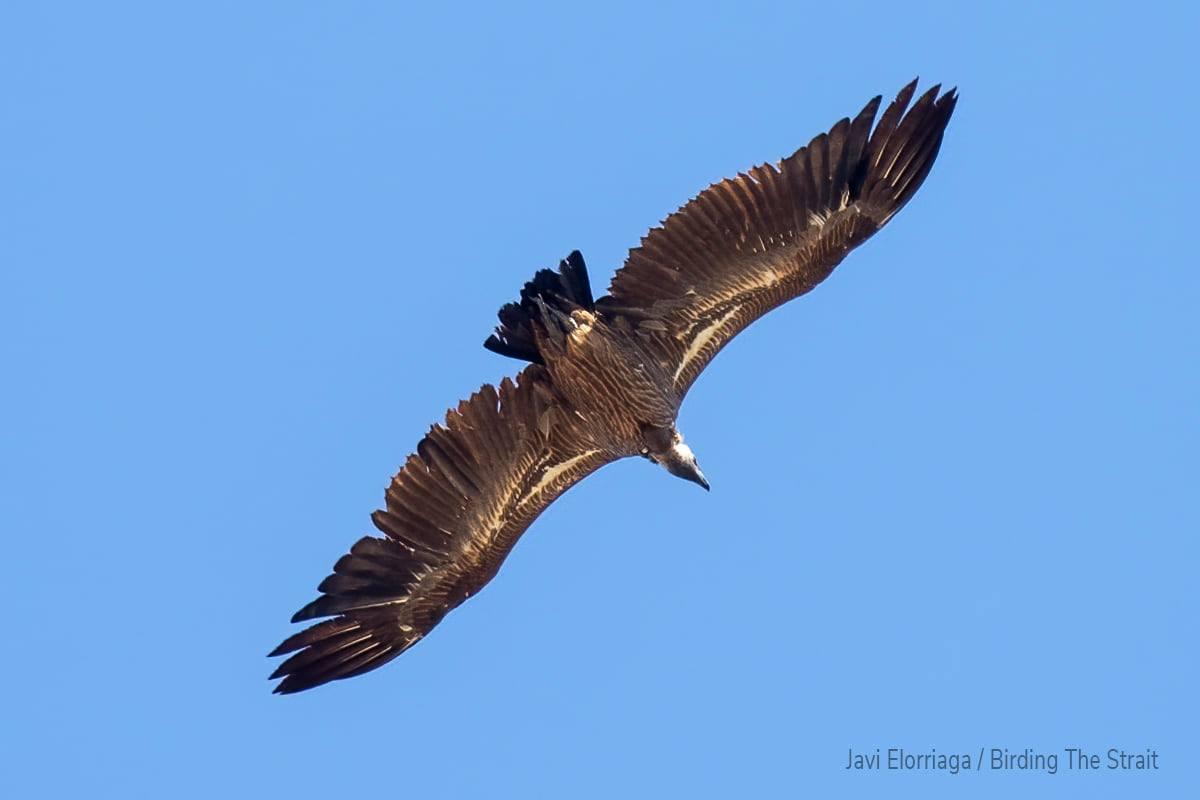 African White-backed Vulture (Gyps africanus), Tarifa, southern Spain, 8 Oct. 2021 (Javier Elorriaga / Birding The Strait)